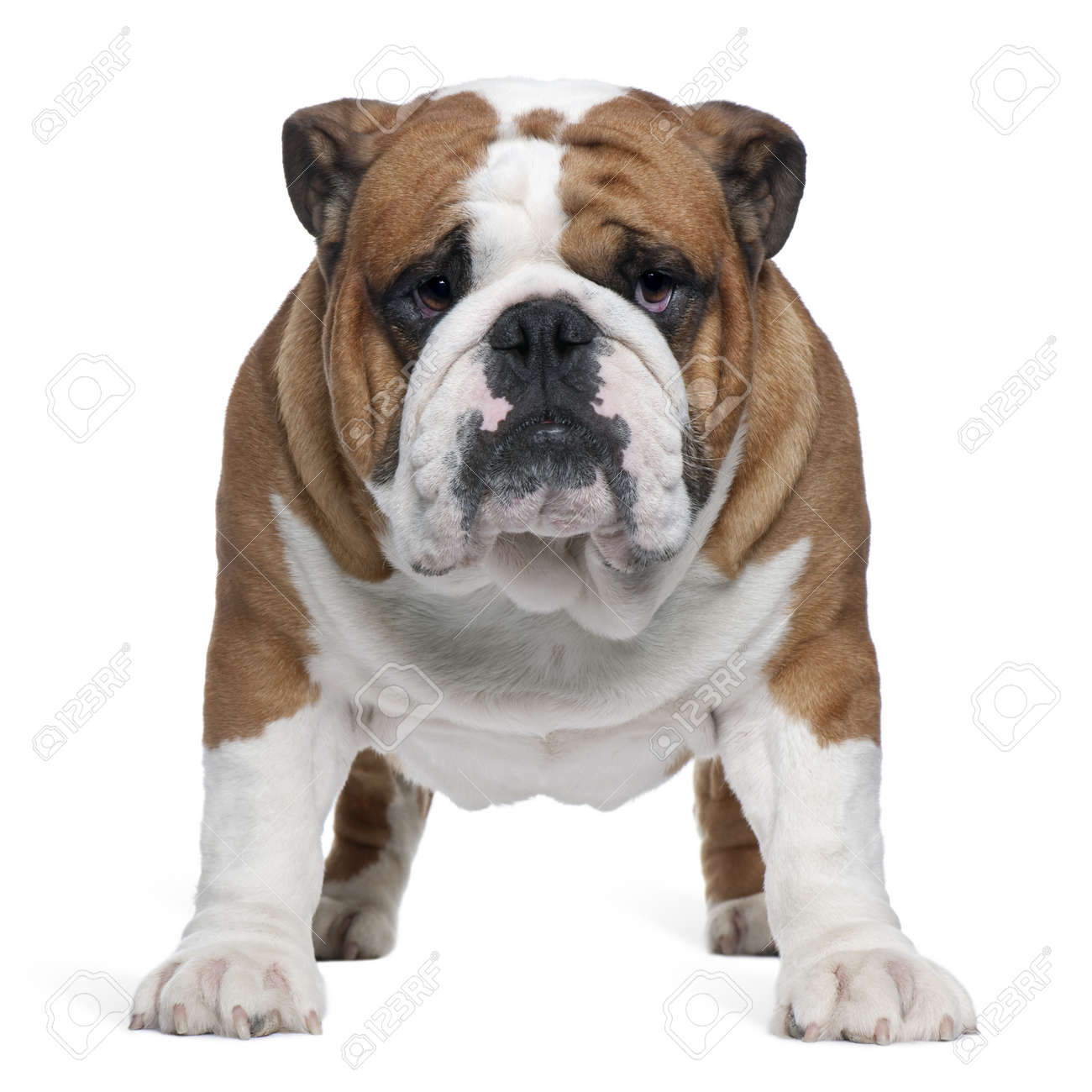 English Bulldog, 2 years old, standing in front of white background Stock Photo - 7251232
