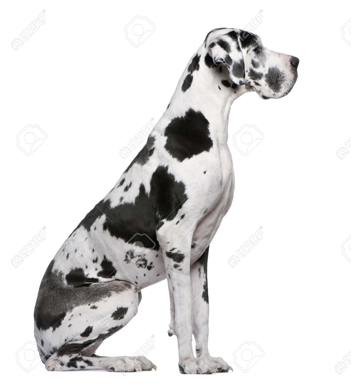 Great Dane Harlequin sitting in front of white background Stock Photo - 7980205