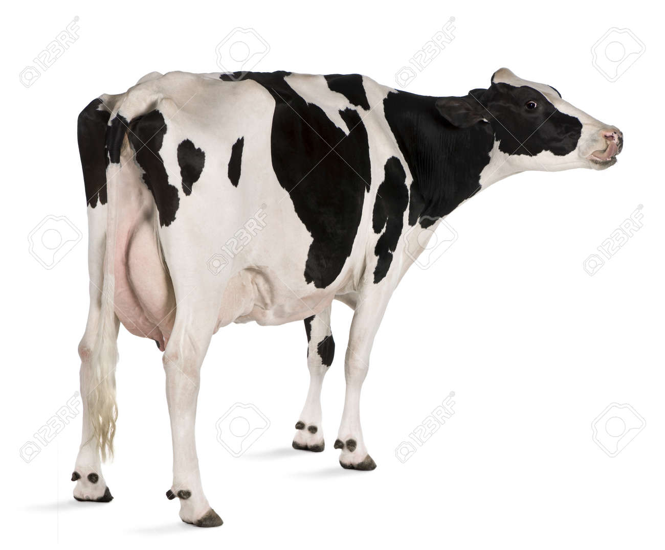 Holstein cow, 5 years old, standing in front of white background Stock Photo - 7980227