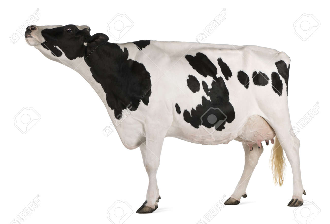Holstein cow, 5 years old, standing in front of white background Stock Photo - 7980291