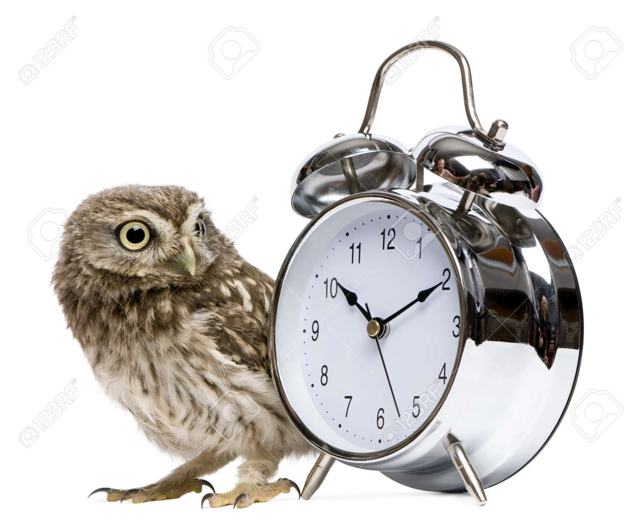 Little Owl, 50 days old, Athene noctua, in front of a white background with alarm clock Stock Photo - 7980434