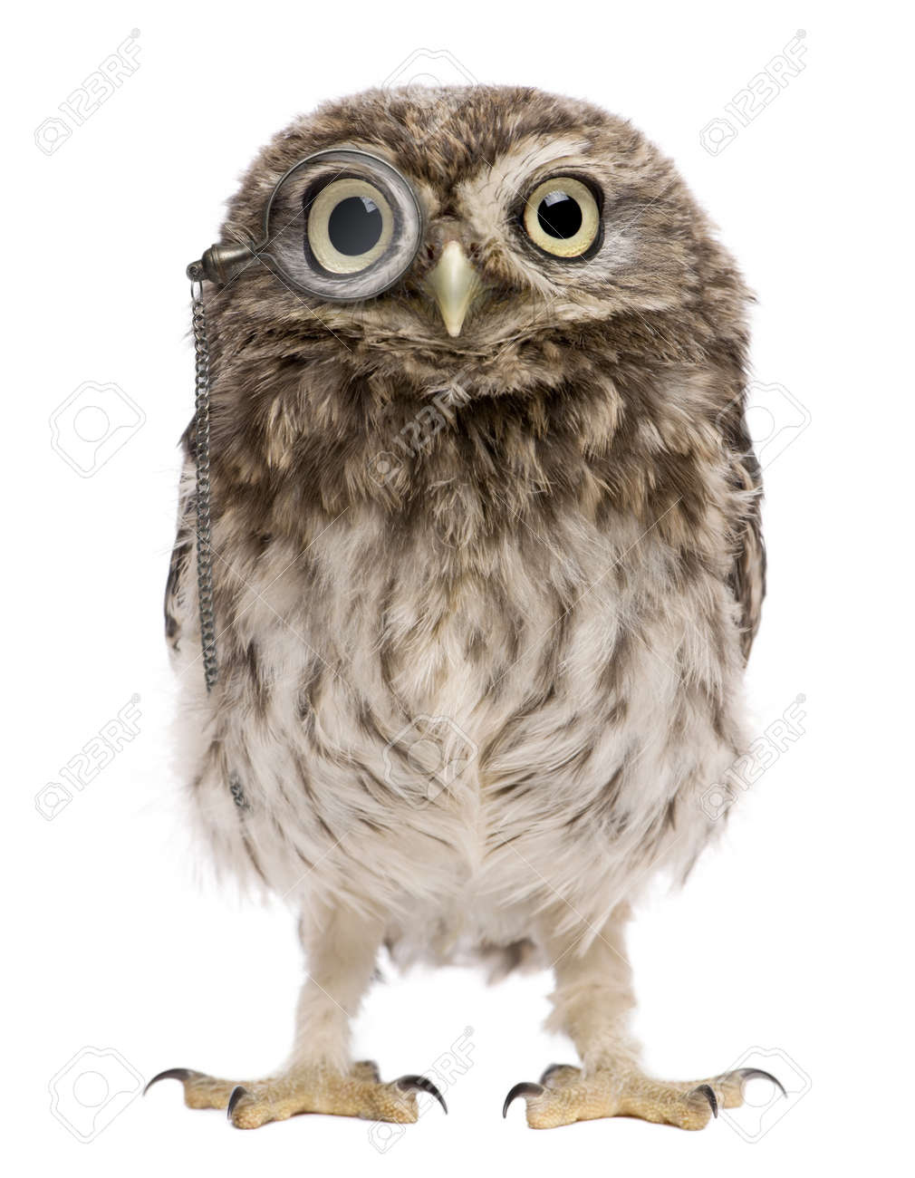 Little Owl wearing magnifying glass, 50 days old, Athene noctua, standing in front of a white background Stock Photo - 7980670