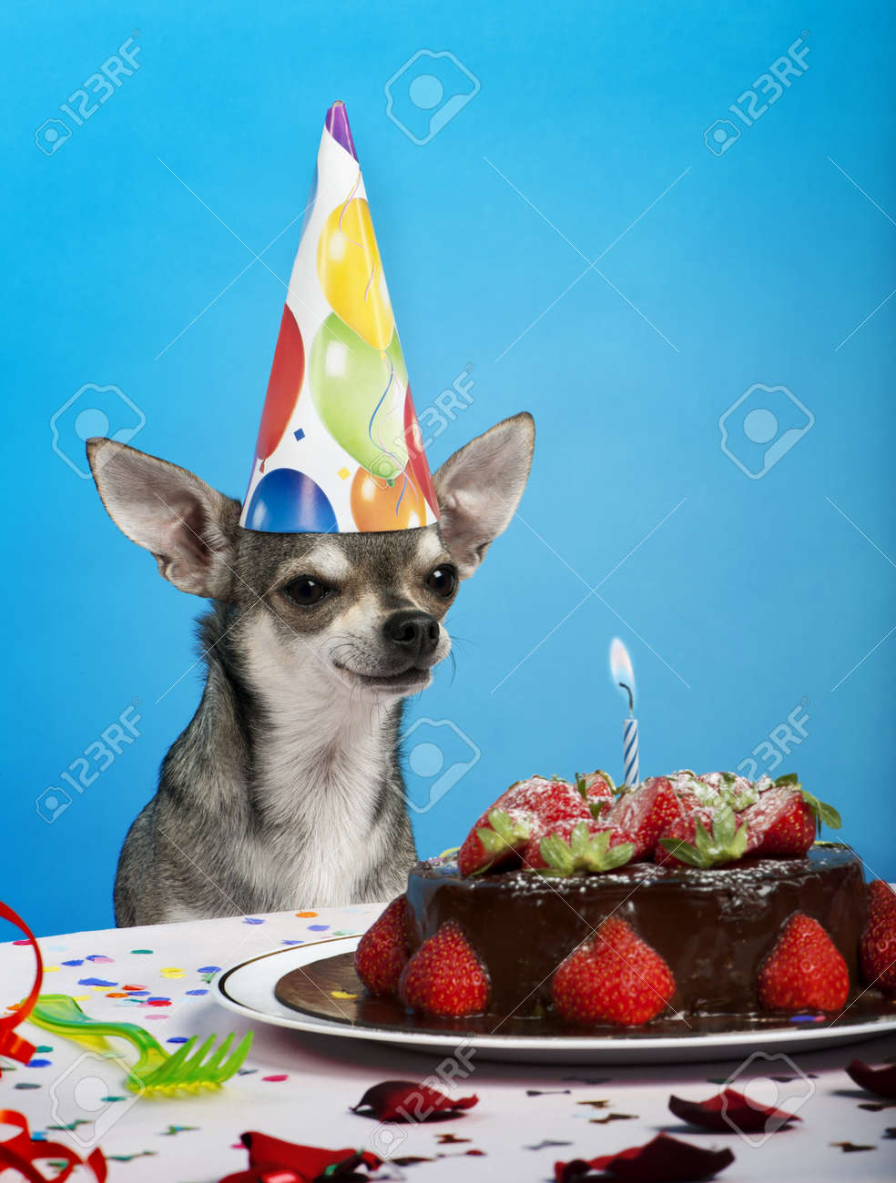 Phenomenal Chihuahua At Table Wearing Birthday Hat And Looking At Birthday Funny Birthday Cards Online Unhofree Goldxyz