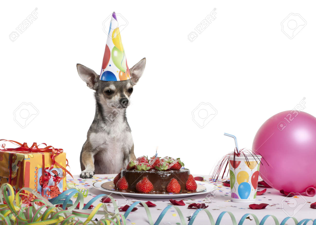 Fabulous Chihuahua At Table Wearing Birthday Hat And Looking At Birthday Funny Birthday Cards Online Unhofree Goldxyz