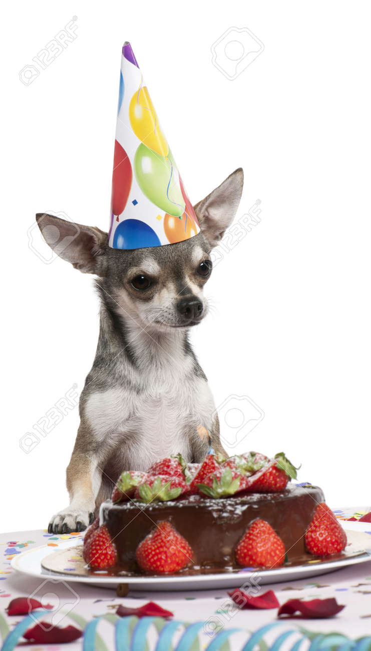 Terrific Chihuahua At Table Wearing Birthday Hat And Looking At Birthday Funny Birthday Cards Online Unhofree Goldxyz