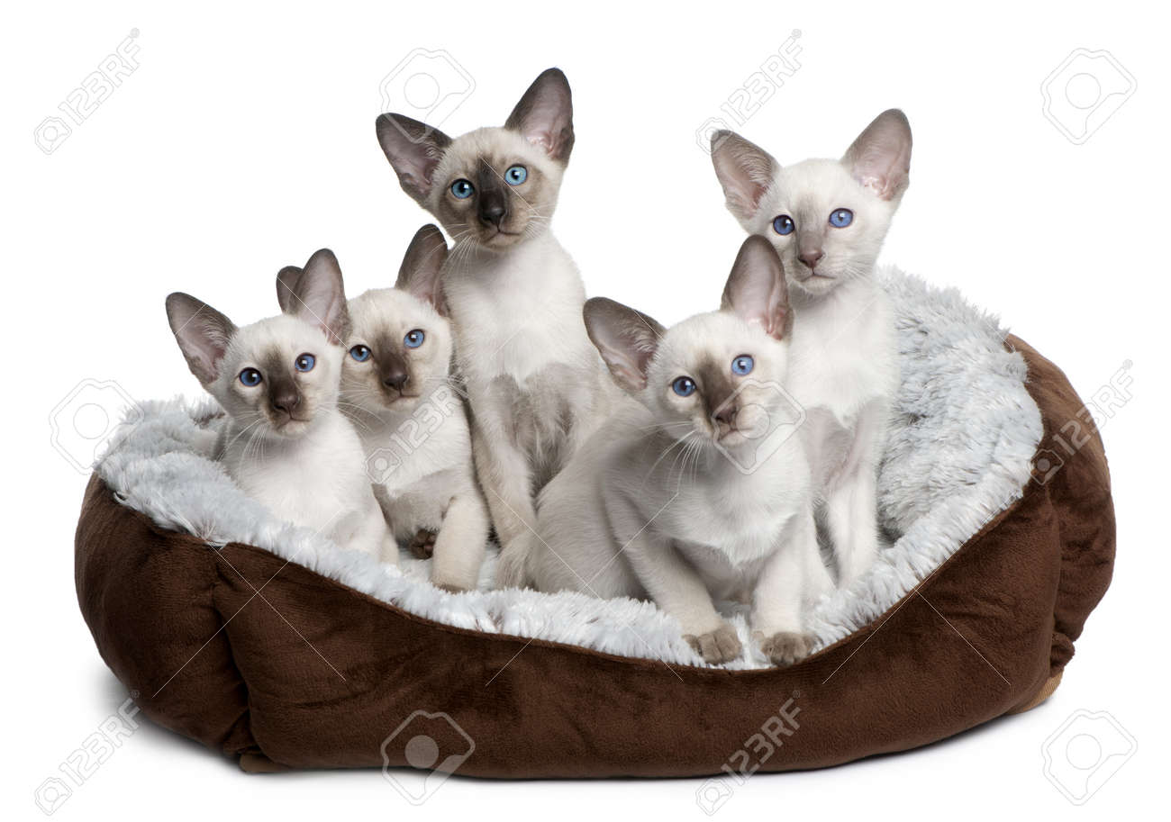 Five Siamese Kittens 10 Weeks Old Sitting In Cat Bed In Front