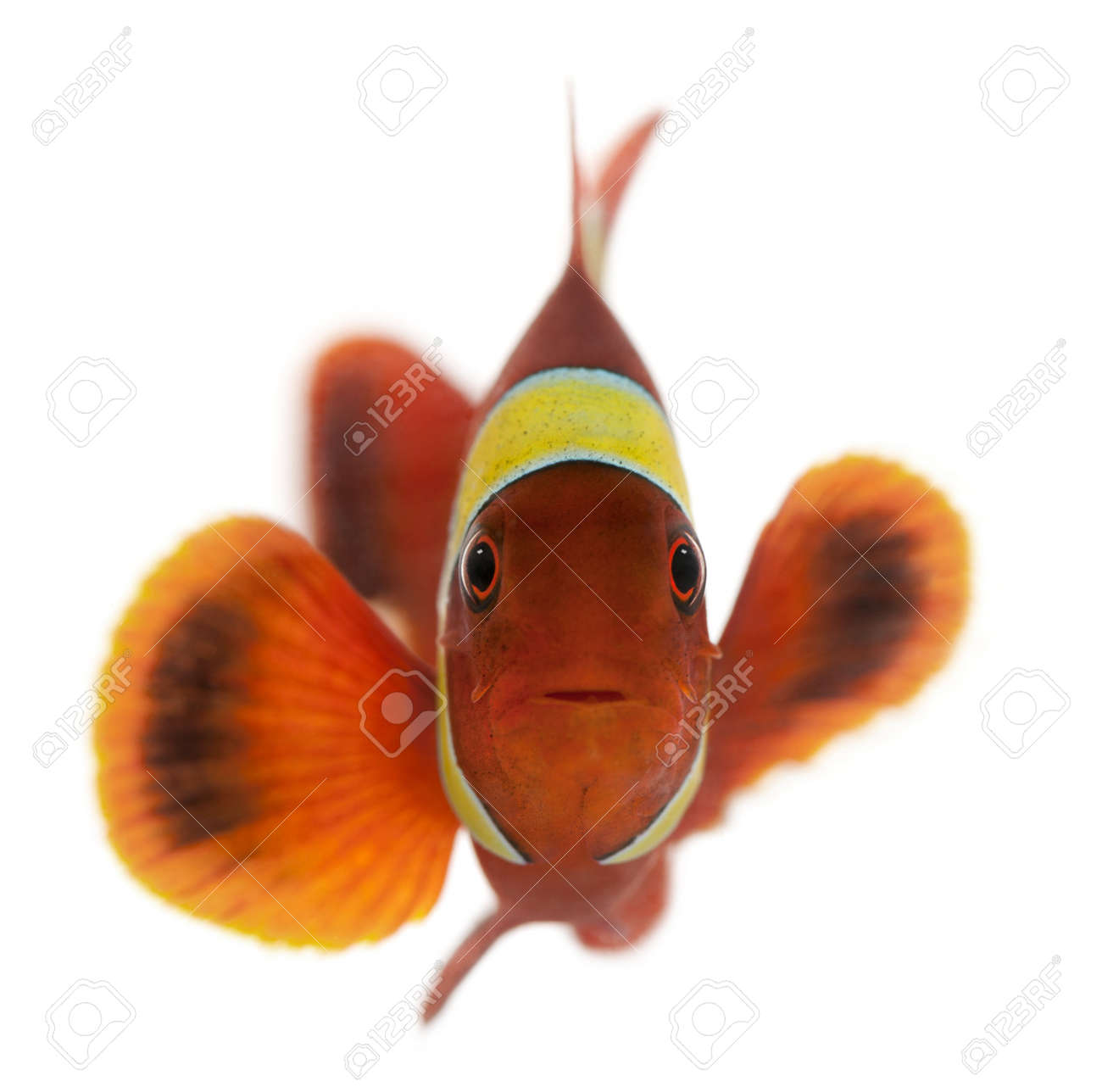 Maroon clownfish, Premnas biaculeatus, in front of white background Stock Photo - 8021132