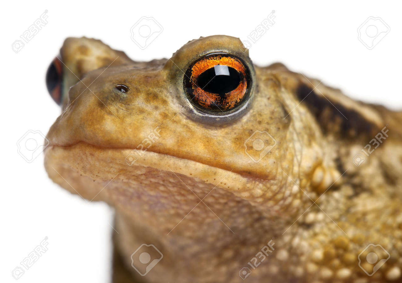 Common toad, bufo bufo, in front of white background Stock Photo - 8022184