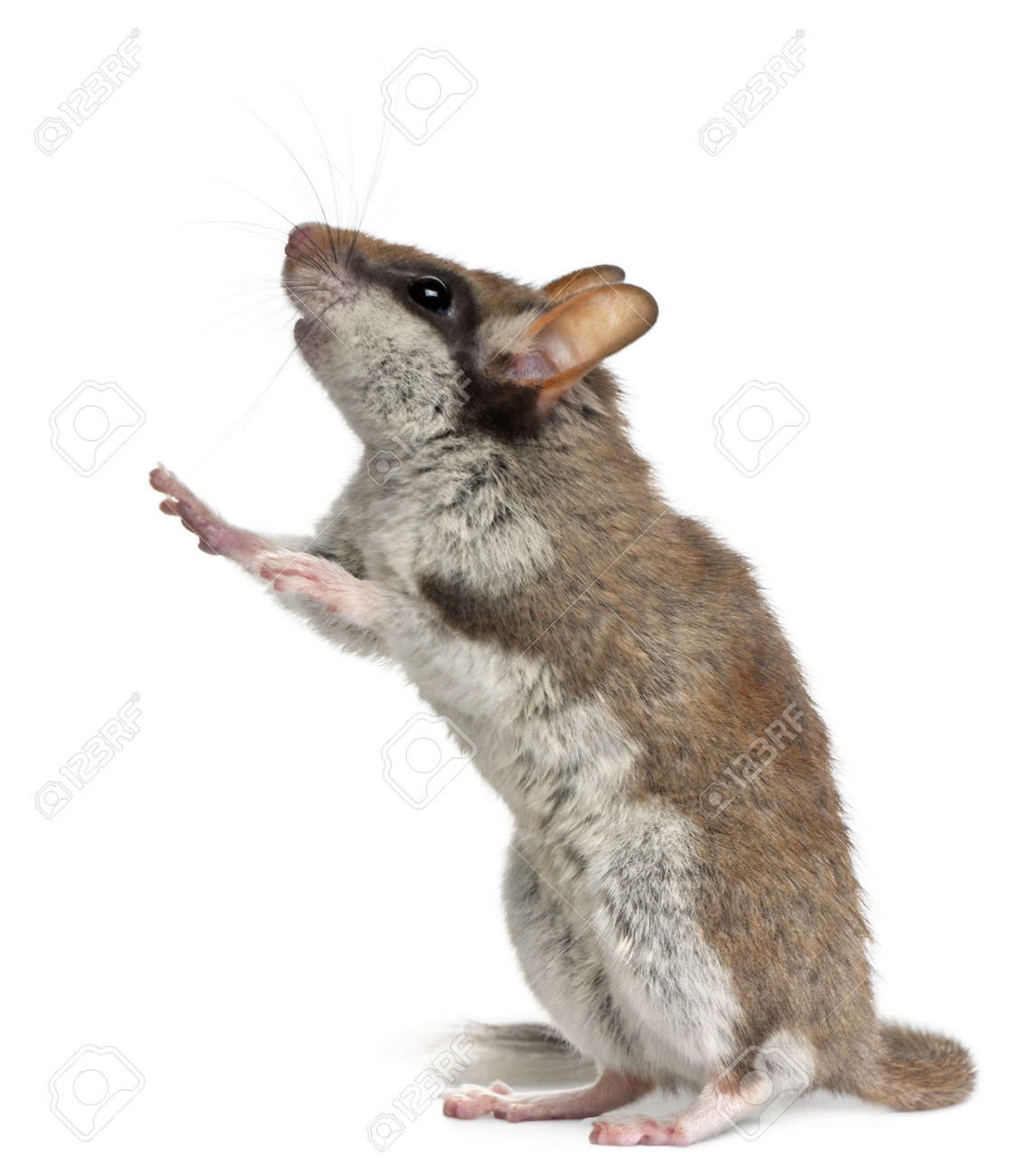 Garden Dormouse, Eliomys Quercinus, standing up in front of white background Stock Photo - 8021124