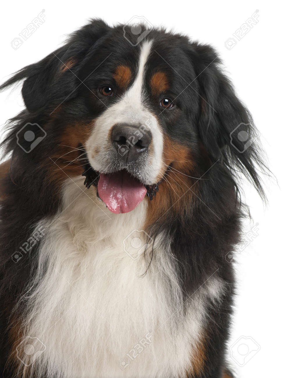 Bernese Mountain Dog, 3 years old, in front of white background Stock Photo - 8022461