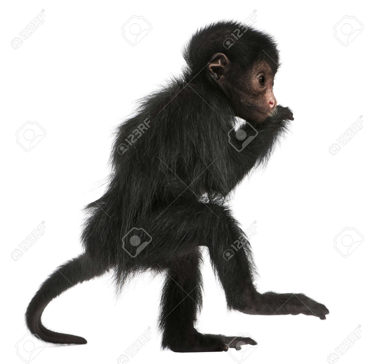 spider monkey images u0026 stock pictures royalty free spider monkey