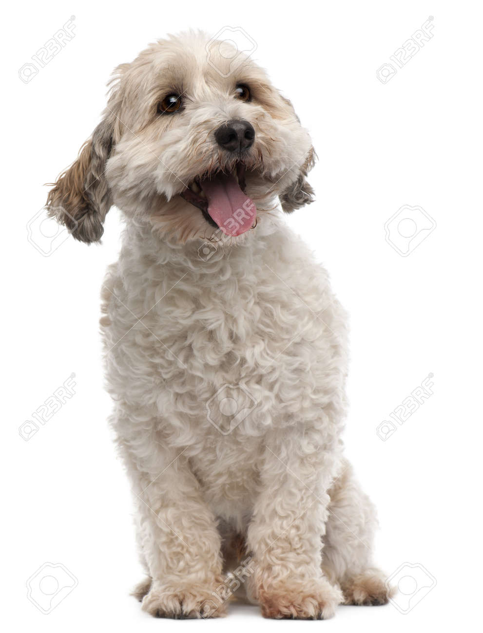 Cross breed dog, 8 years old, sitting in front of white background Stock Photo - 8029615