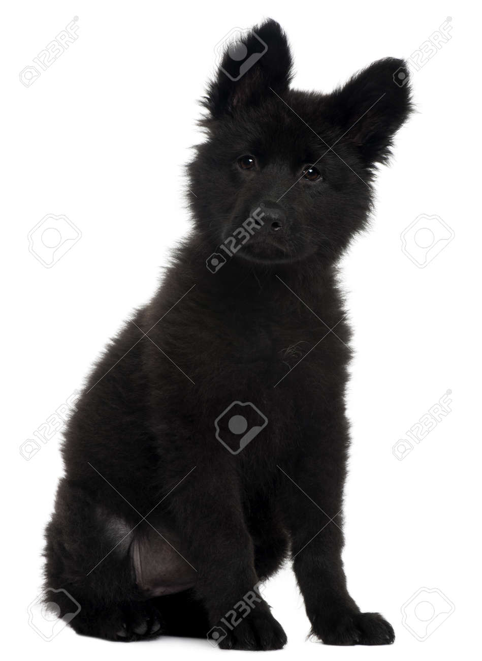 German Shepherd Dog puppy, 10 weeks old, sitting in front of white background Stock Photo - 8029656