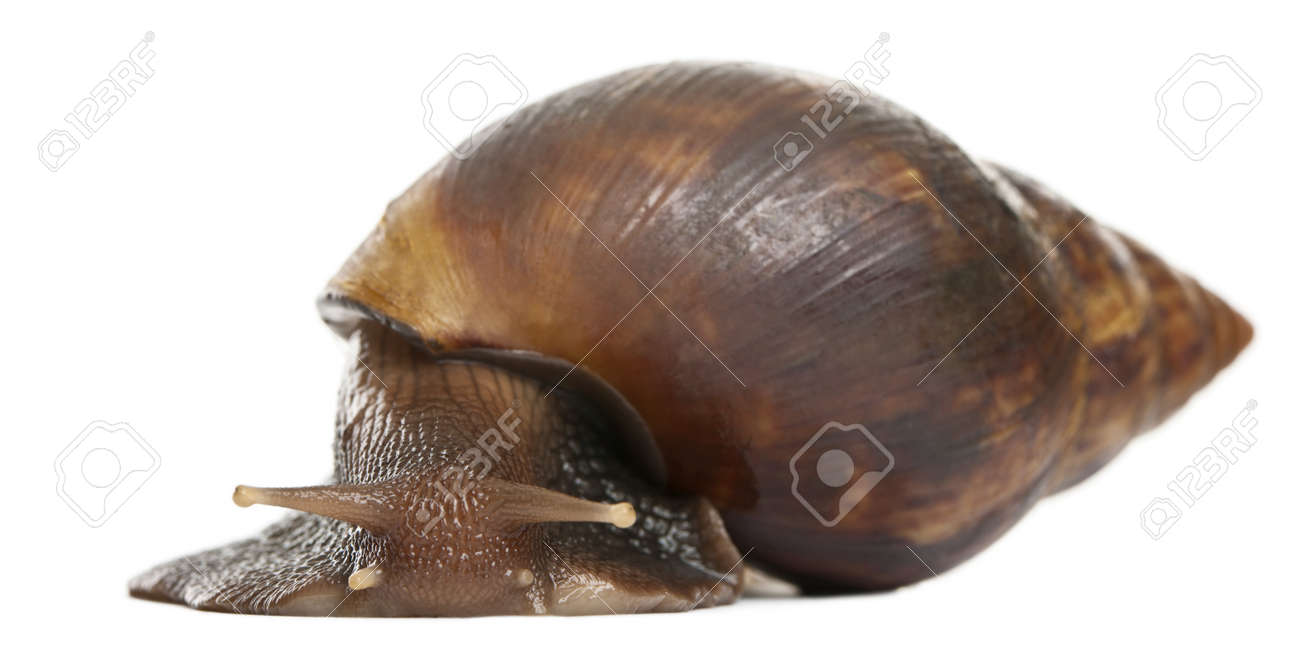 giant african land snail images u0026 stock pictures royalty free