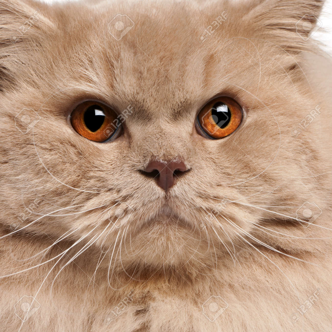 Close-up of British longhair cat, 15 months old Stock Photo - 8210806