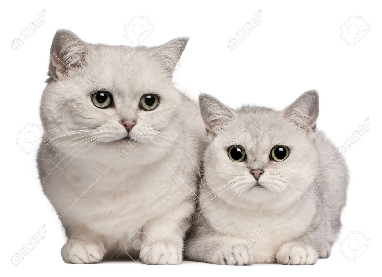 British Shorthair Cats 1 And 6 Years Old In Front White