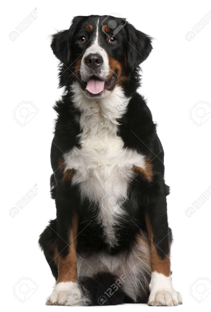 Bernese Mountain Dog, 16 months old, sitting in front of white background Stock Photo - 8210711