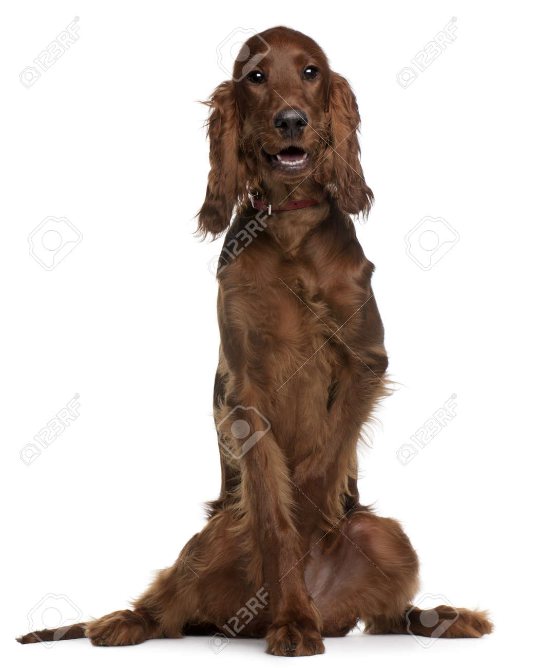Irish Setter puppy, 5 months old, sitting in front of white background Stock Photo - 8210675