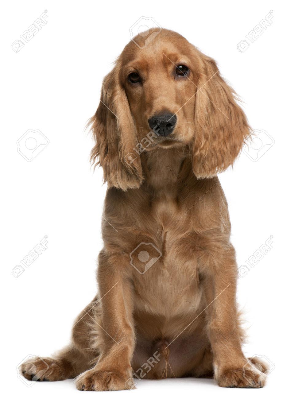 Immagini Stock English Cocker Spaniel Cucciolo 5 Mesi Di Età