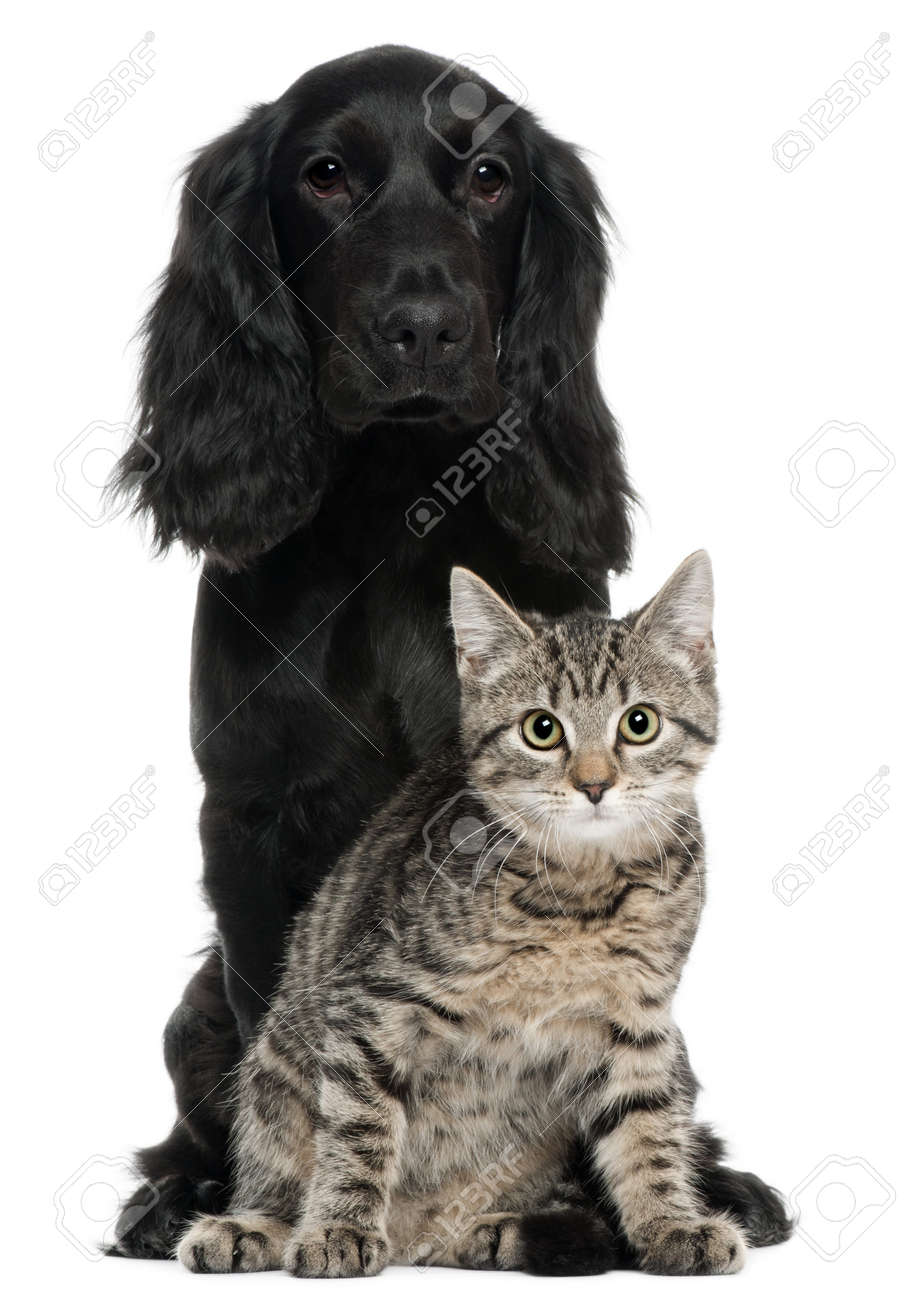 Cocker Spaniel and European Cat, 5 and 4 years old, sitting in front of white background Stock Photo - 8210604