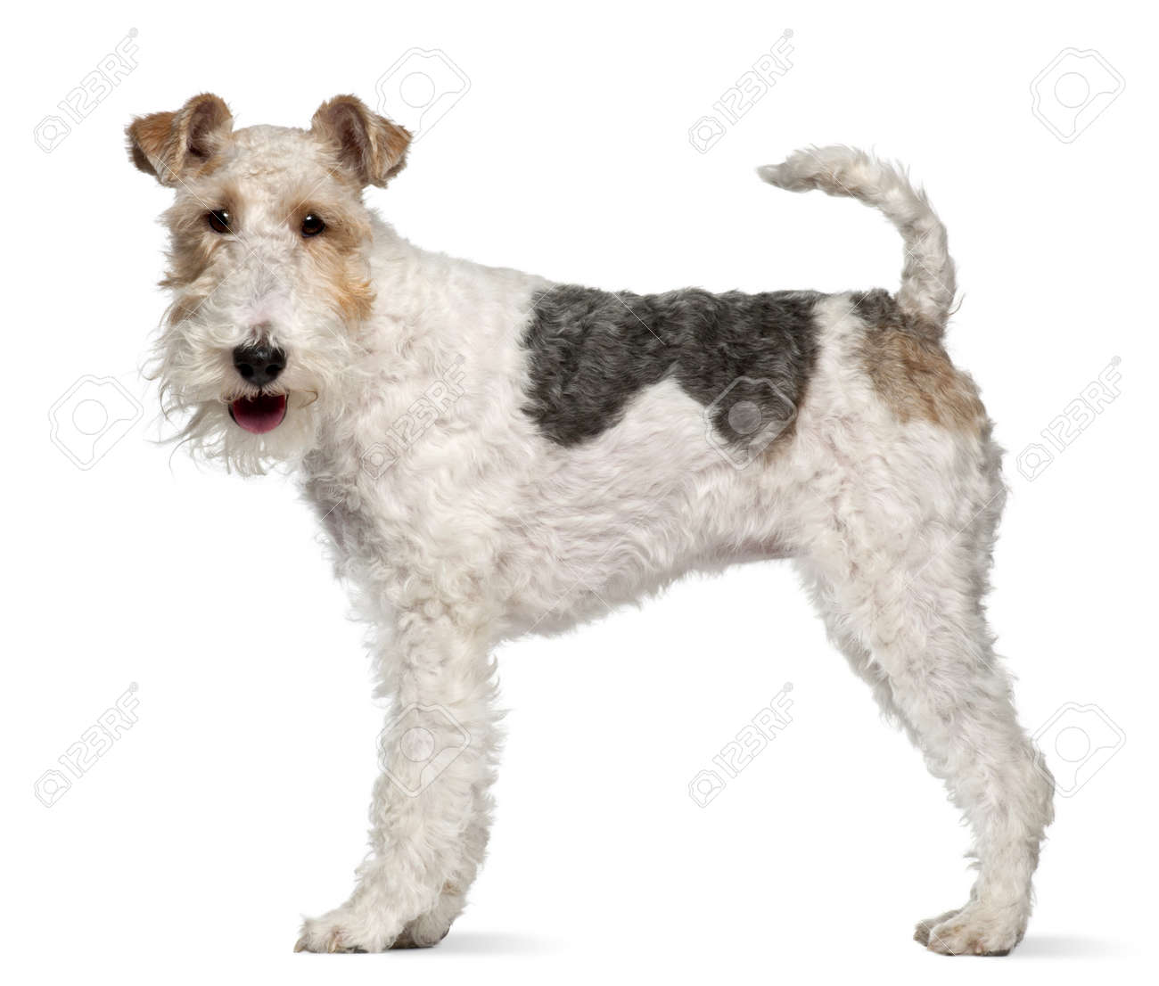Fox Terrier, 1 Year Old, Standing In Front Of White Background Stock ...