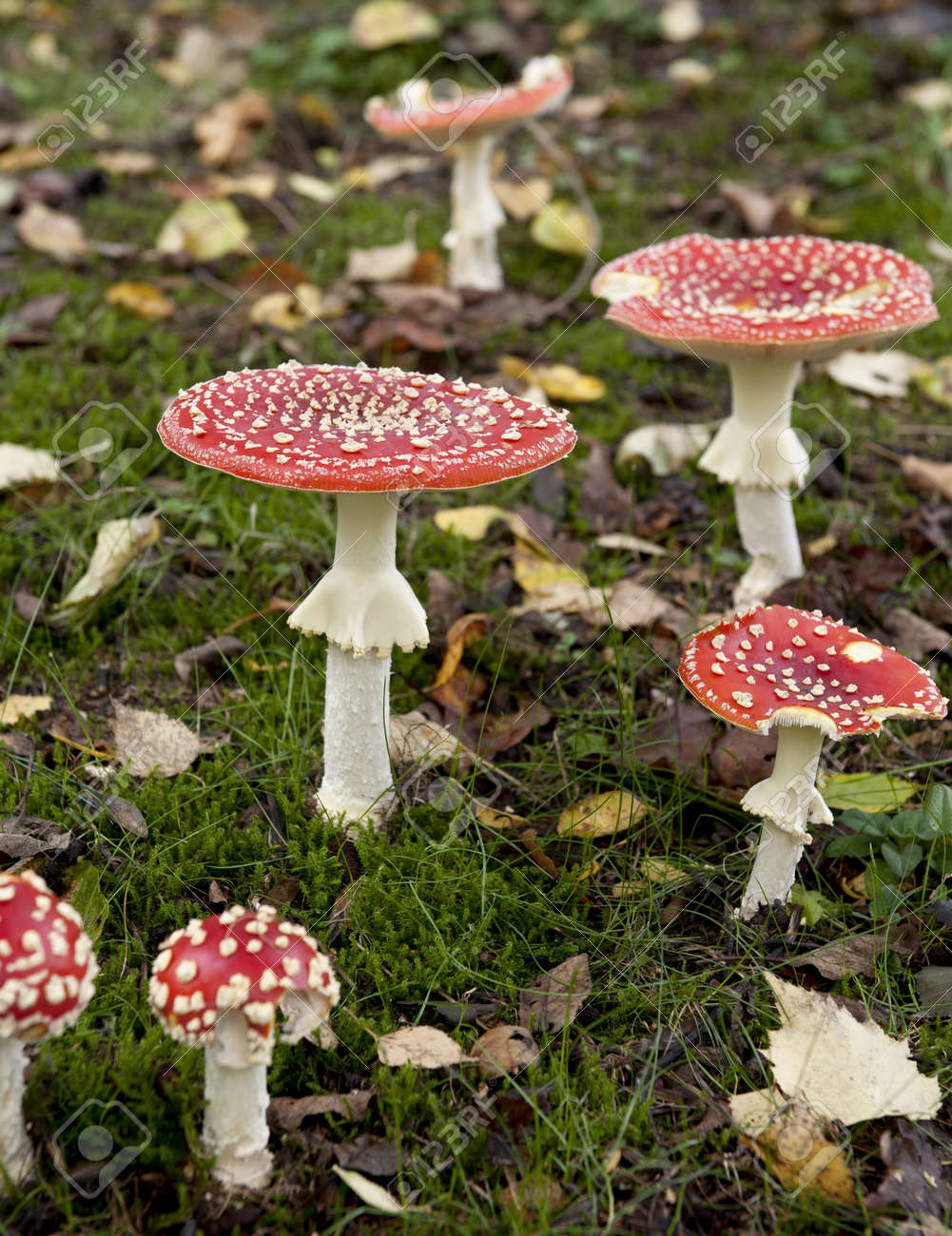 Fly agaric or fly Amanita mushrooms, Amanita muscaria - 8651225