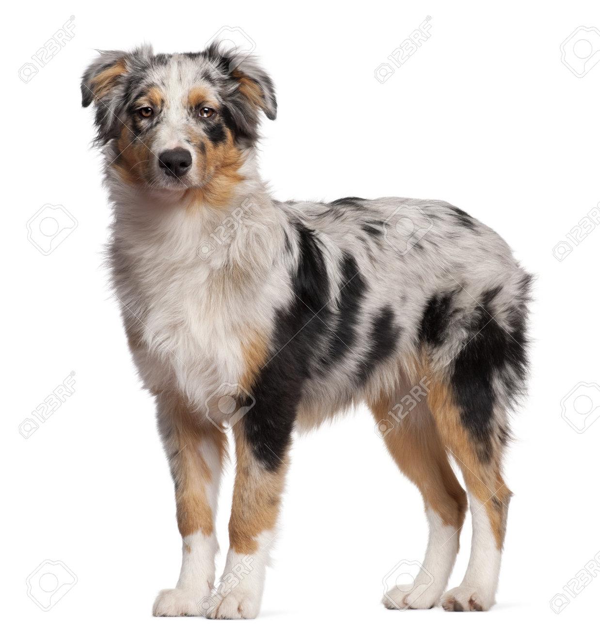 Image vectorielle dun chien husky sur fond blanc papier peint • papiers