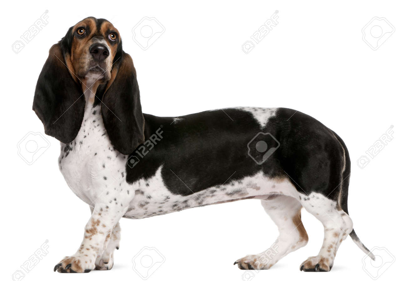 Basset Normand dog, 11 months old, standing in front of white background Stock Photo - 8649914