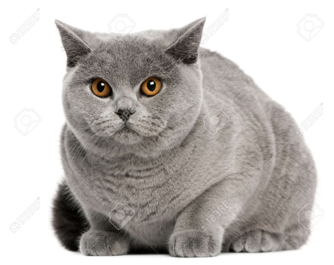 British Shorthair Cat 8 Months Old Sitting In Front White