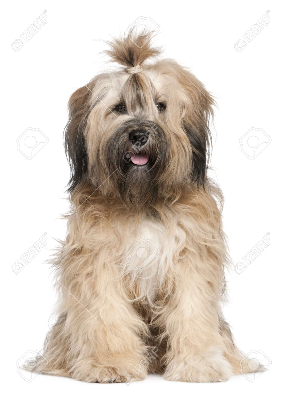 Tibetan Terrier, 1 year old, sitting in front of white background Stock Photo - 8651456