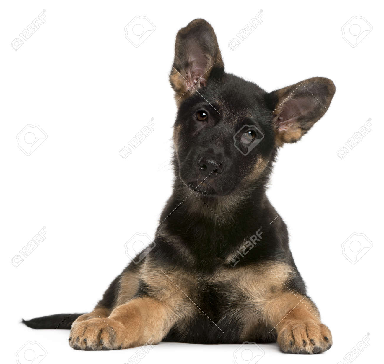 German Shepherd Dog puppy, 3 months old, lying in front of white background Stock Photo - 8652203