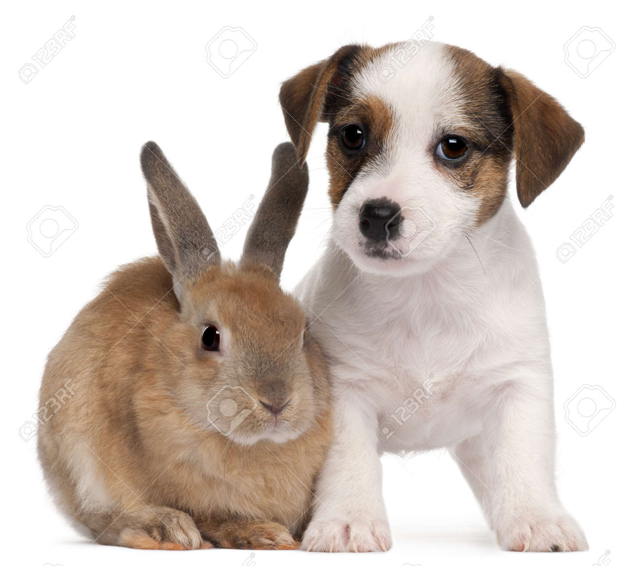 bunny front view stock photos royalty free bunny front view