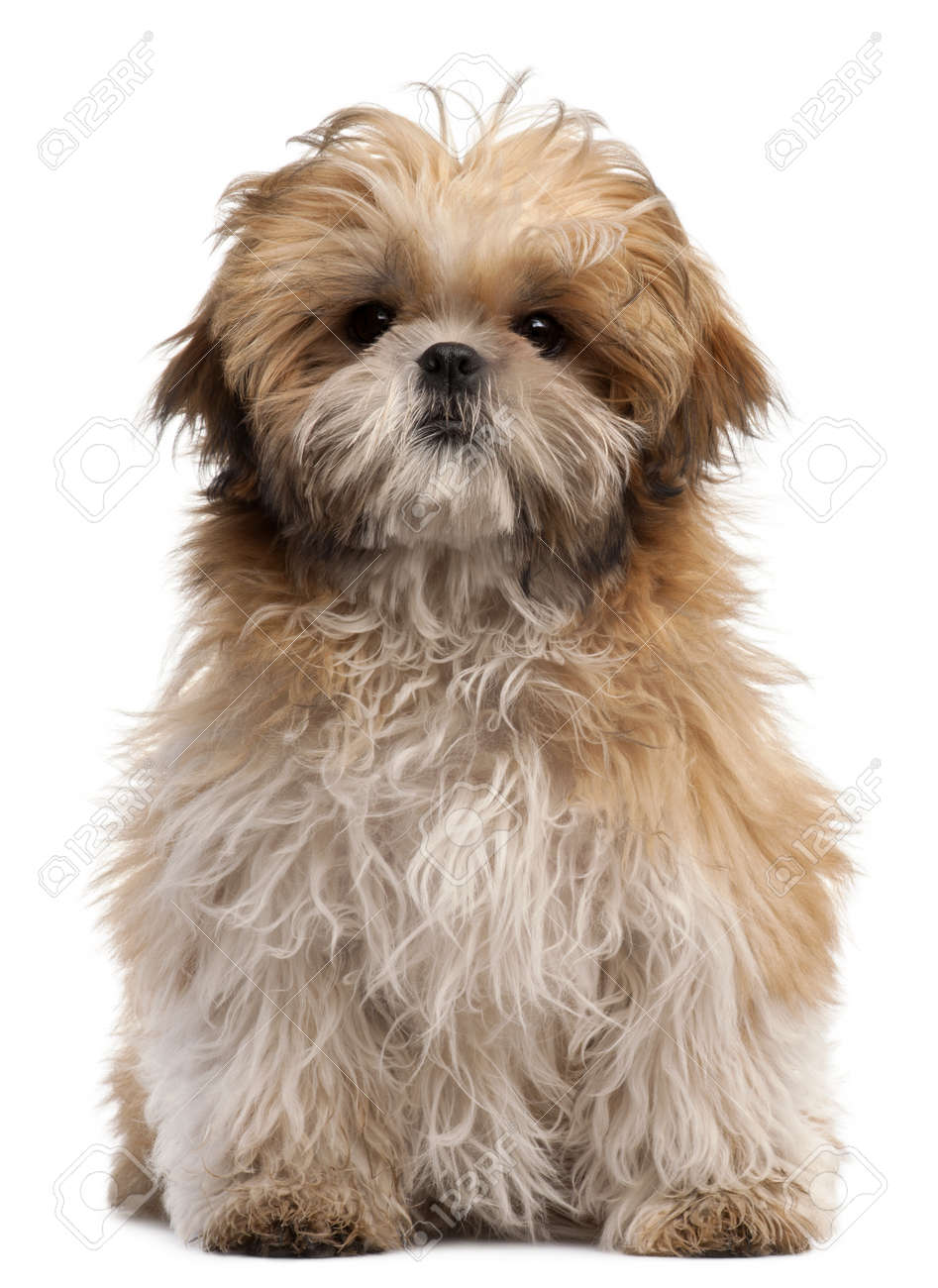 Shih Tzu Puppy 6 Months Old Sitting In Front Of White Background