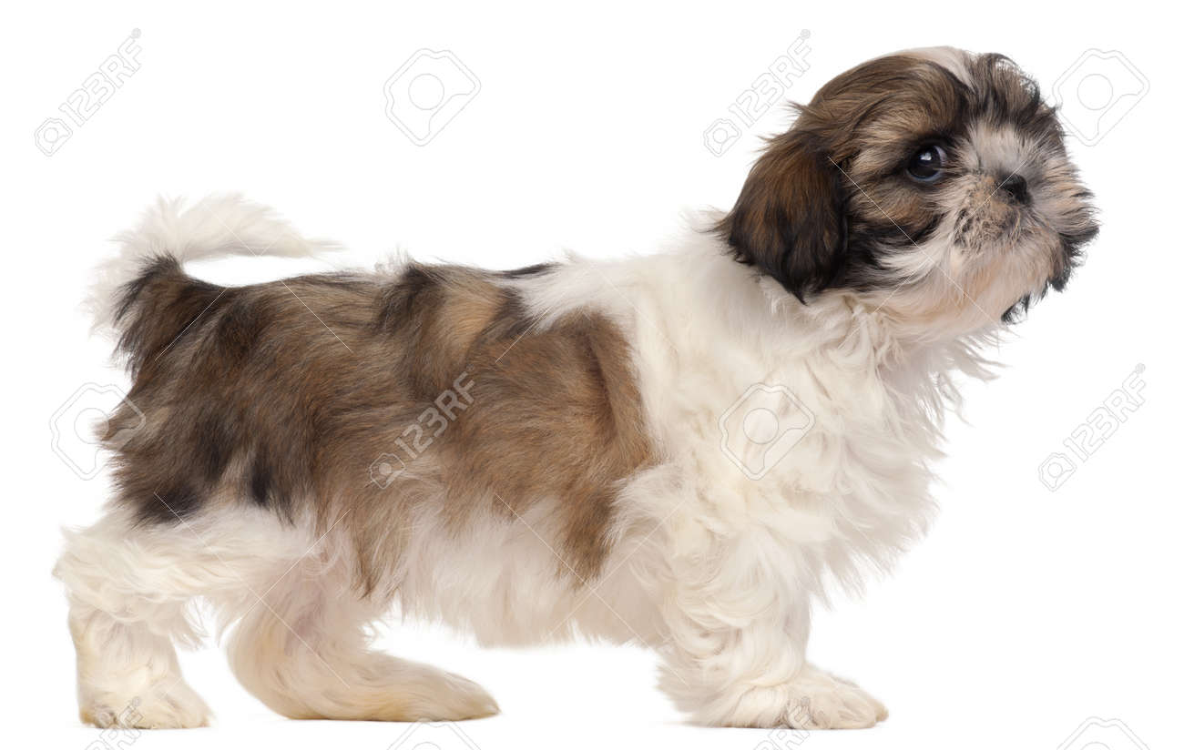 Brown and white Shih-tzu standing in front of white background Stock Photo - 8651900