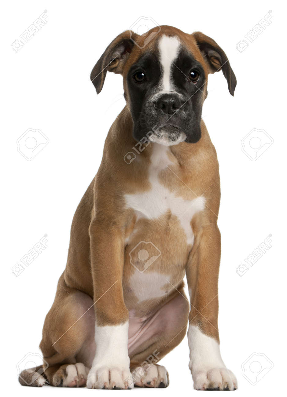 boxer puppy 3 months old sitting in front of white background