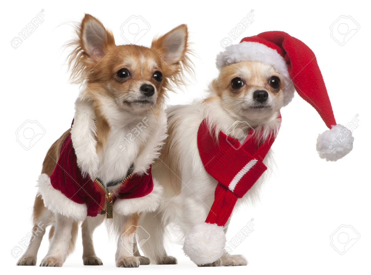 Chihuahuas Dressed In Santa Outfits For Christmas In Front Of ...