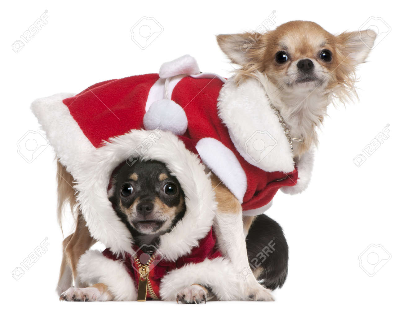 Chihuahuas dressed in Santa outfits for Christmas in front of white background Stock Photo - 8650602