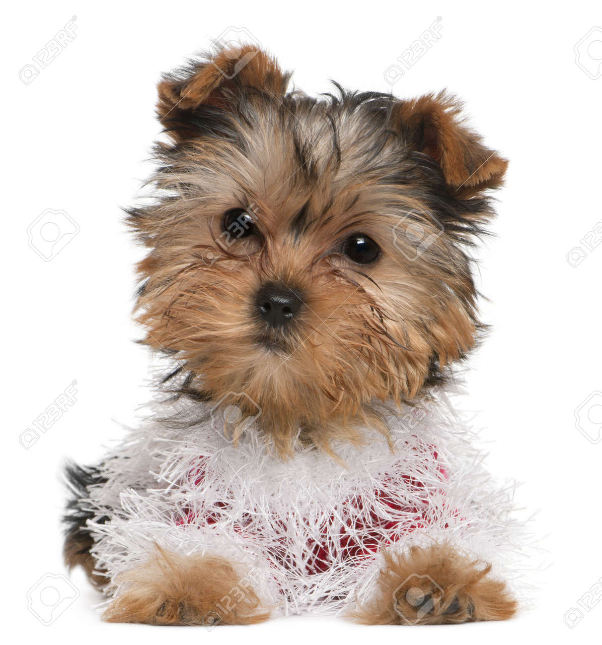 Yorkshire Terrier Puppy Dressed Up 3 Months Old Lying In Front