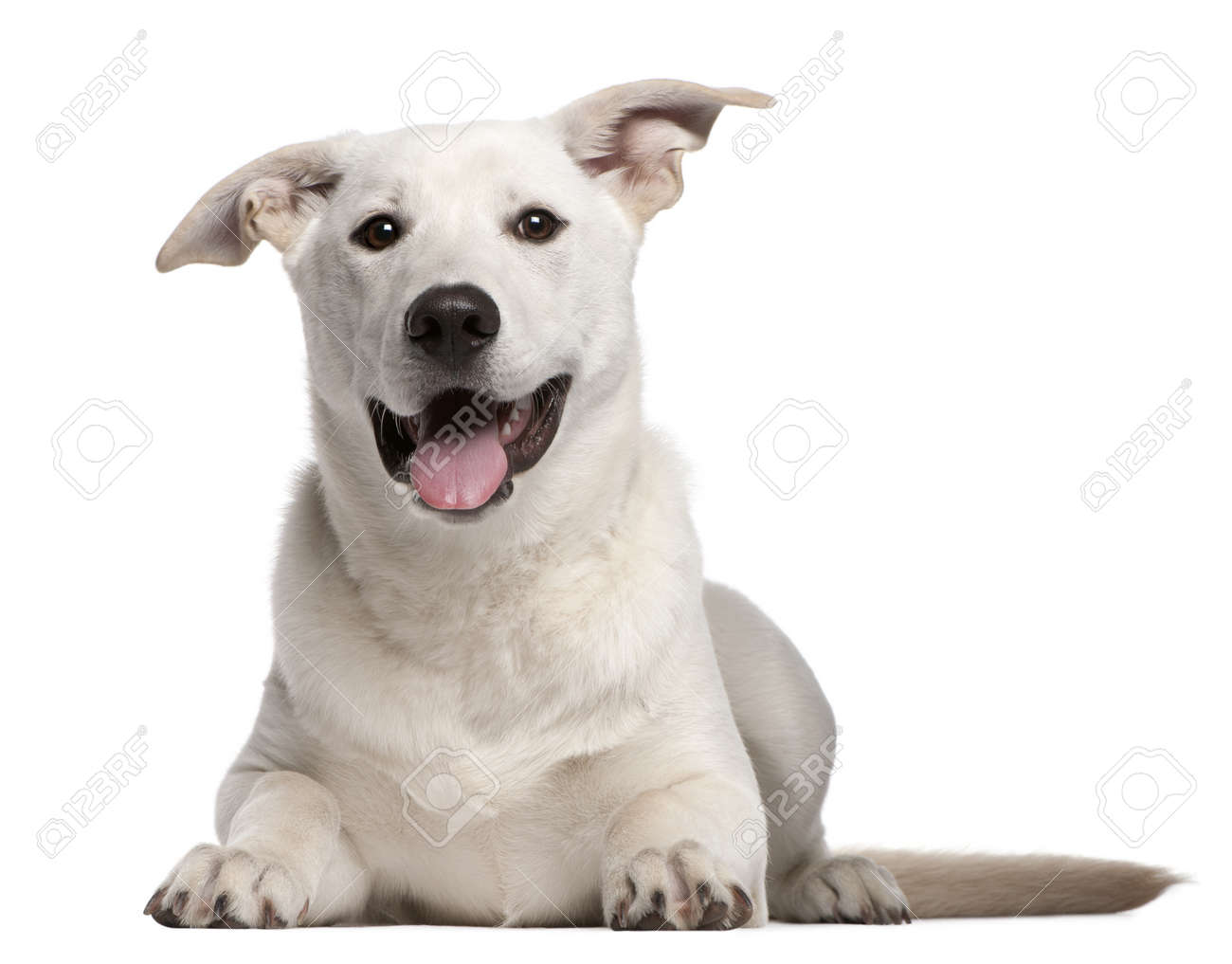 Mixed-breed puppy, 5 months old, lying in front of white background Stock Photo - 8650400