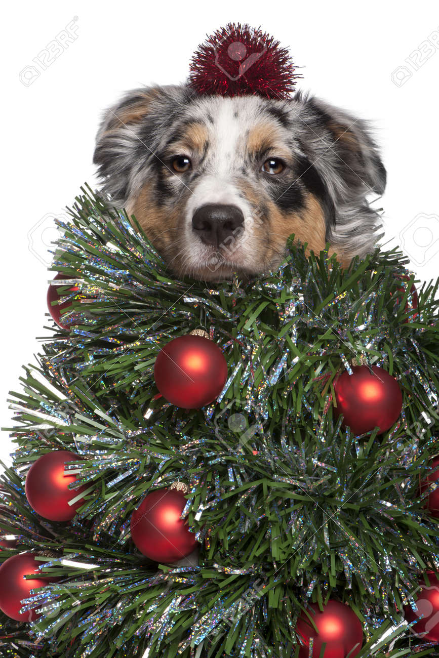 Australian Shepherd dog dressed as Christmas tree, 7 months old, in front of white background Stock Photo - 8651167