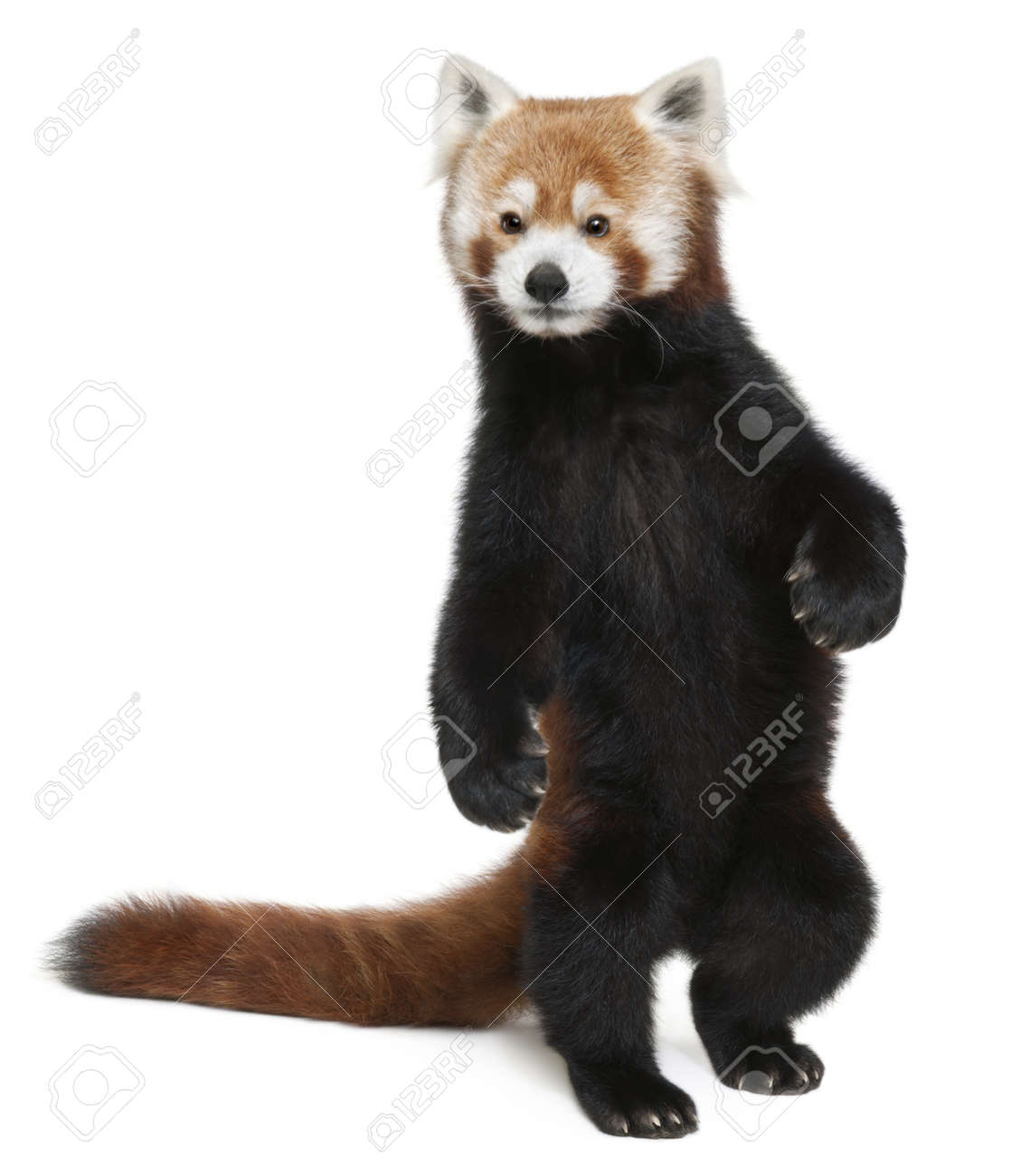 Old Red panda or Shining cat, Ailurus fulgens, 10 years old, walking in front of white background - 8649801