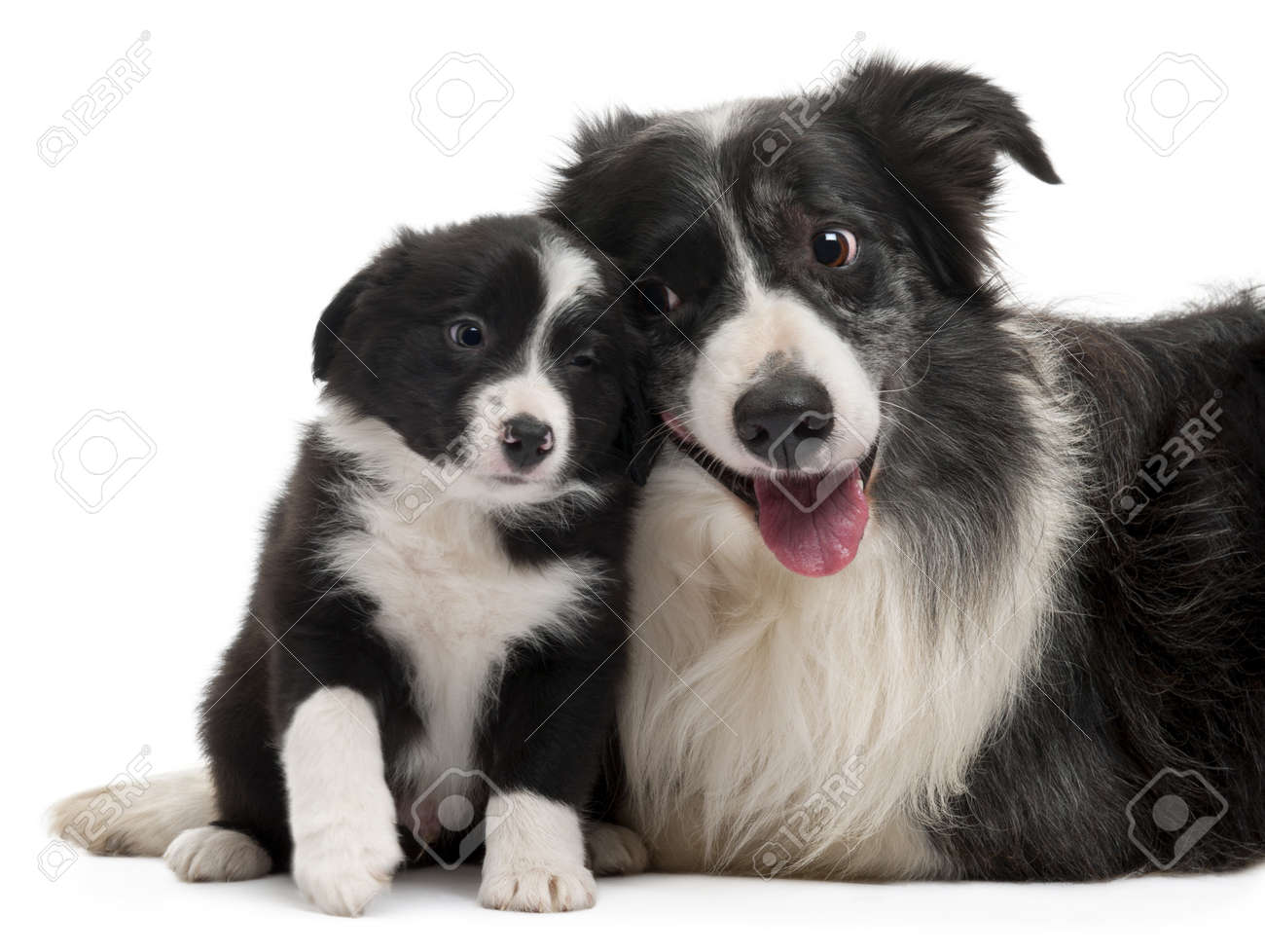 Border Collies interacting in front of white background Stock Photo - 8972528