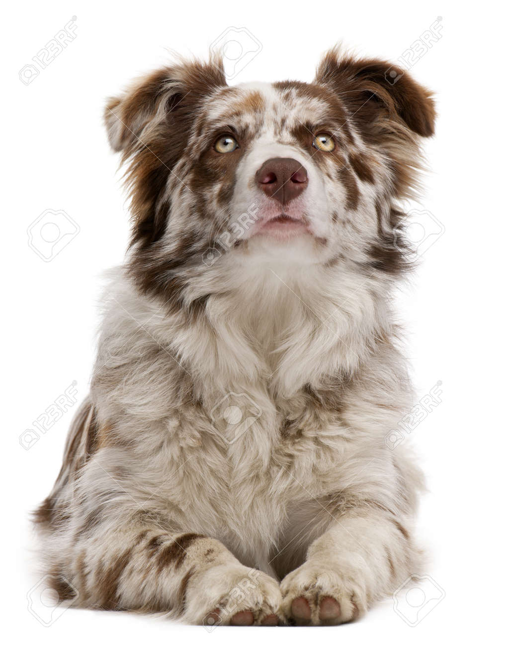 Red Merle Border Collie 6 Months Old Lying In Front Of White
