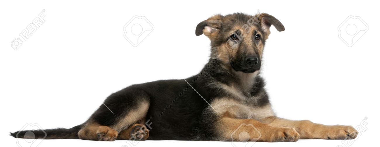 German Shepherd puppy, 4 months old, lying in front of white background Stock Photo - 8972159