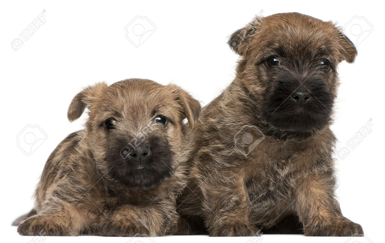 Two Cairn Terrier Puppies, 6 weeks old, in front of white background