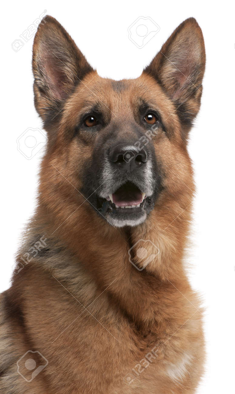 German Shepherd, 5 years old, in front of white background Stock Photo - 8973134