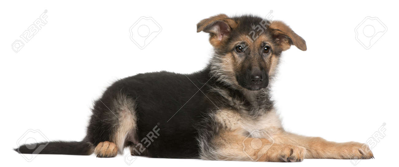 German Shepherd puppy, 4 months old, lying in front of white background Stock Photo - 8972157