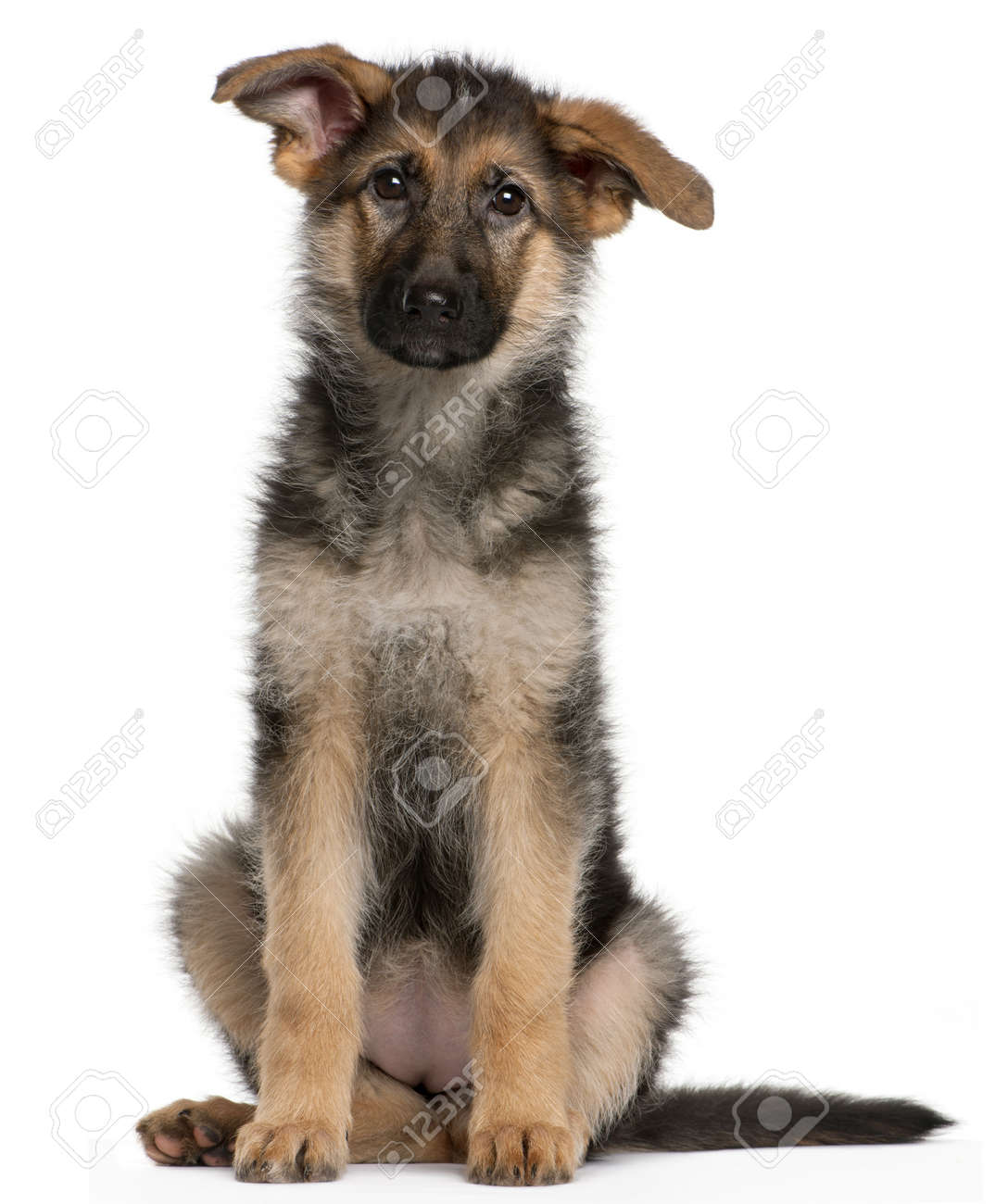 German Shepherd puppy, 4 months old, sitting in front of white background Stock Photo - 8972931