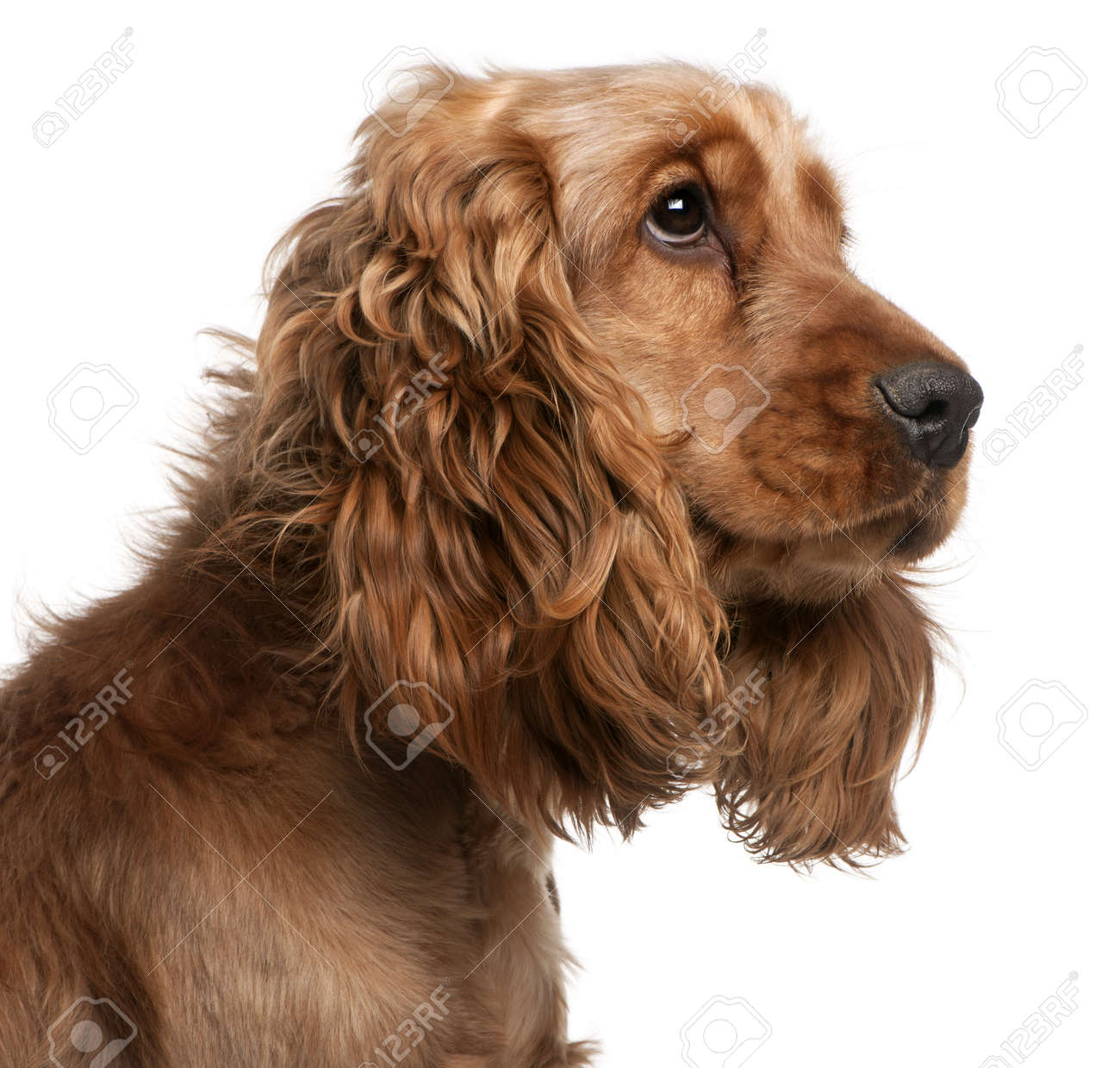 English Cocker Spaniel, 2 years old, in front of white background Stock Photo - 8973019