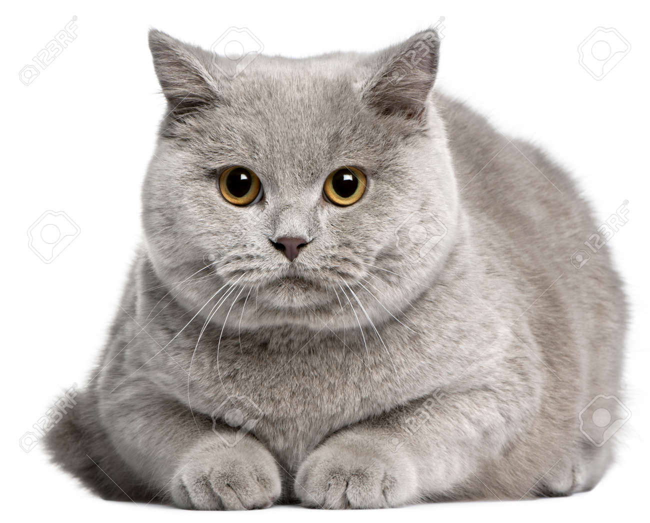 British Shorthair Cat 8 Months Old In Front White Background